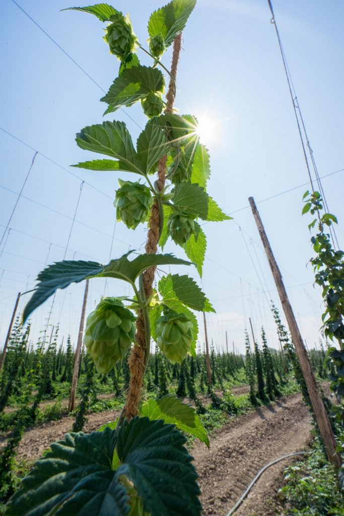 hop planted in a farm