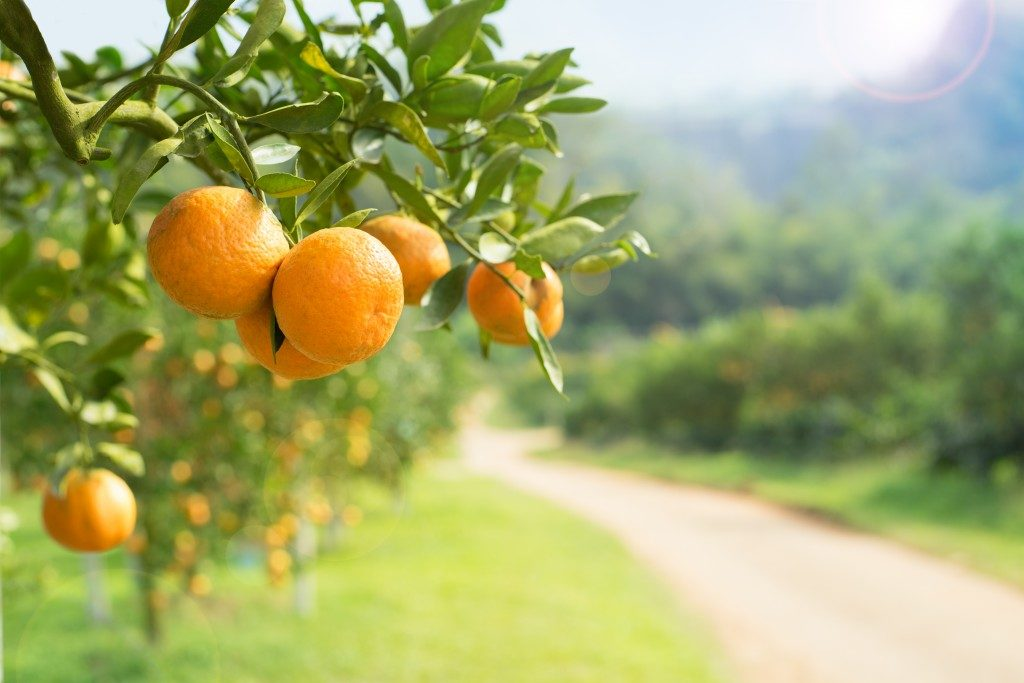 close up photo of oranges in an orchard