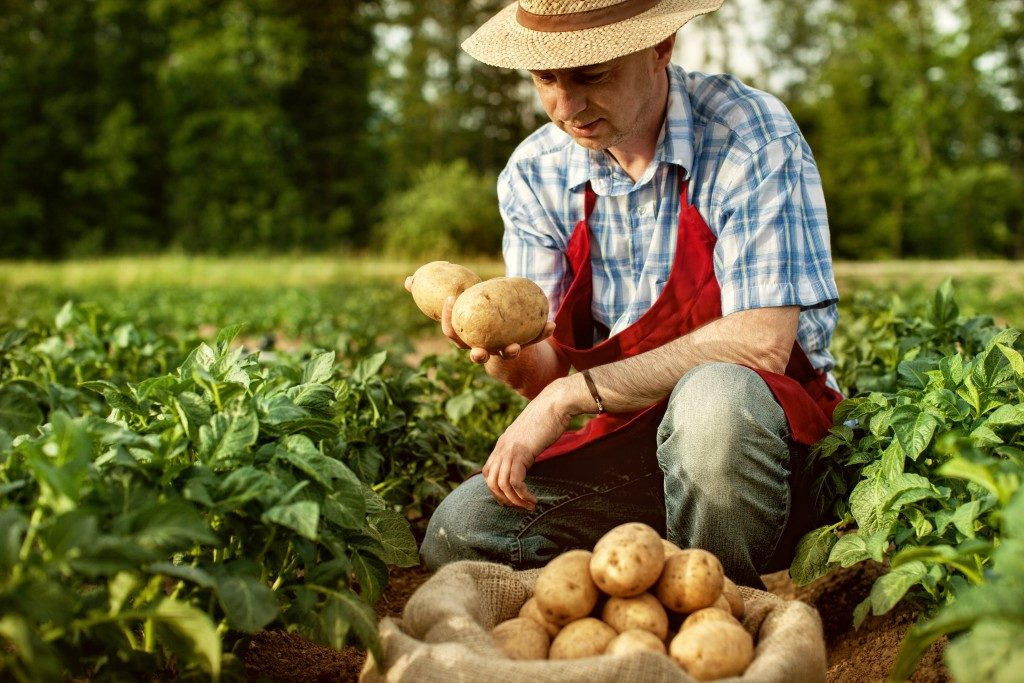 harvesting potatoes from the farm