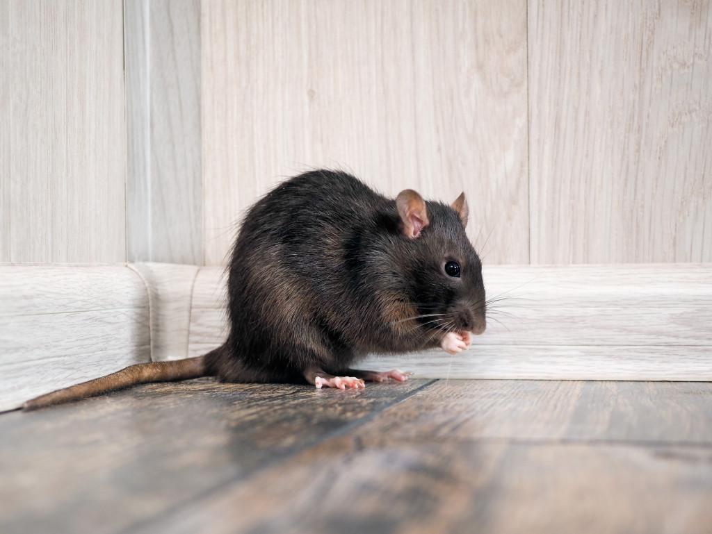 pest in a corner
